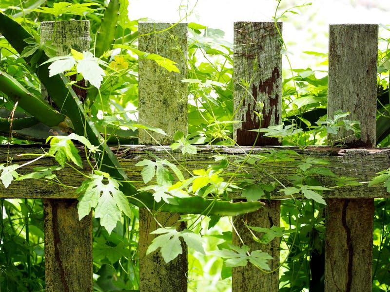 Planta tropical del arrastramiento de la medicina herbaria del crecimiento natural imagenes de archivo