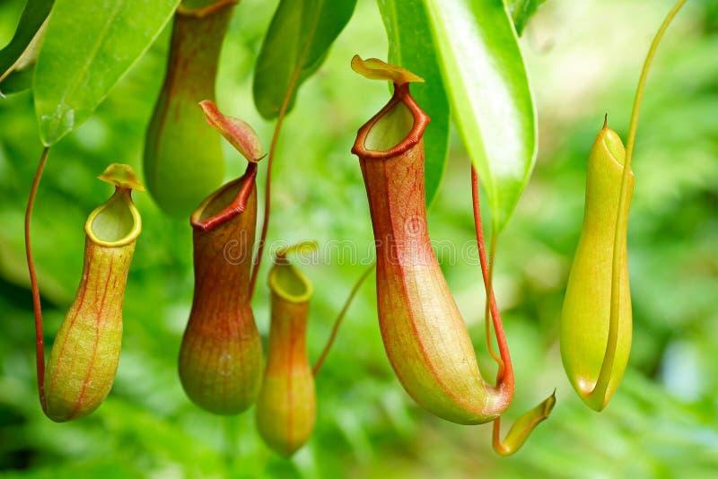 Planta tropical del carnívoro del Nepenthes imagenes de archivo