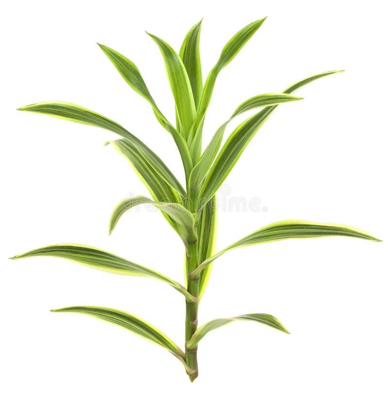 Planta tropical del Dracaena aislada en blanco imagenes de archivo