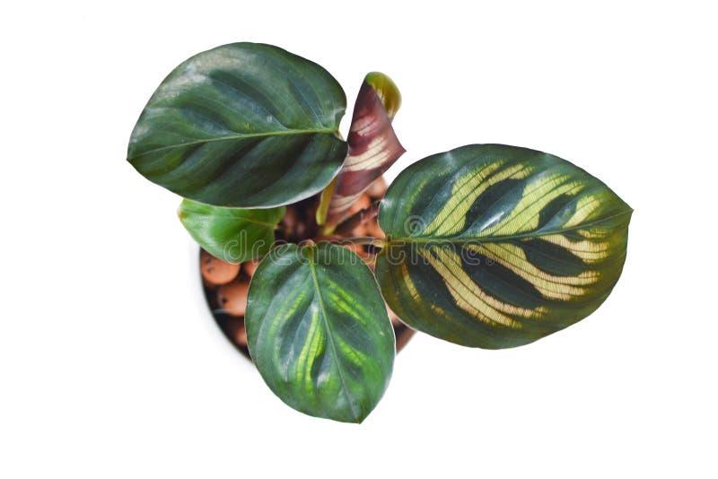 Planta tropical exótica aislada del rezo de Calathea Makoyana con el modelo hermoso en pote con hidrocultivo en el backgr blanco imágenes de archivo libres de regalías