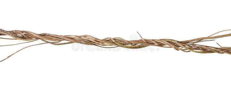 Planta tropical torcida de la liana de la vid salvaje de la selva aislada en el fondo blanco, paht imagen de archivo