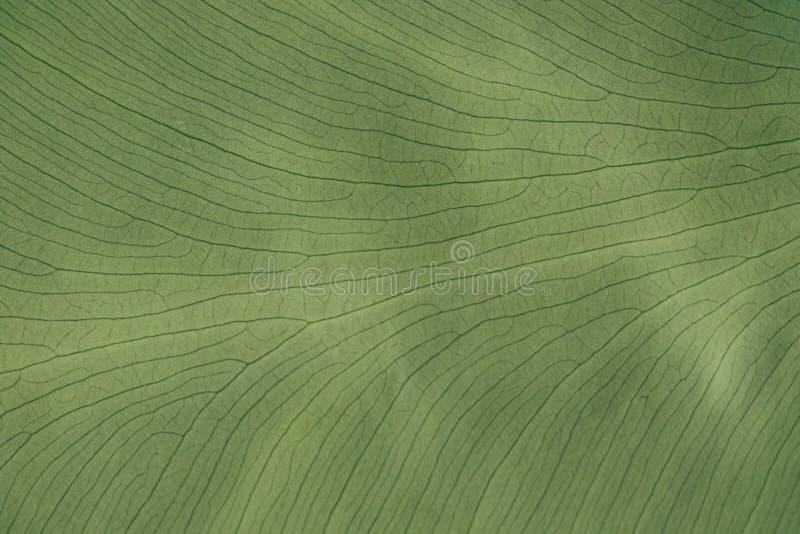 Planta tropical verde das folhas do fundo Palmeira tropical da folha verde da textura foto de stock royalty free