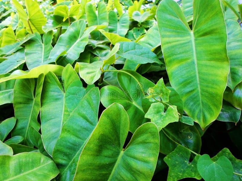 Planta tropical verde natural fresca en jardín fotos de archivo