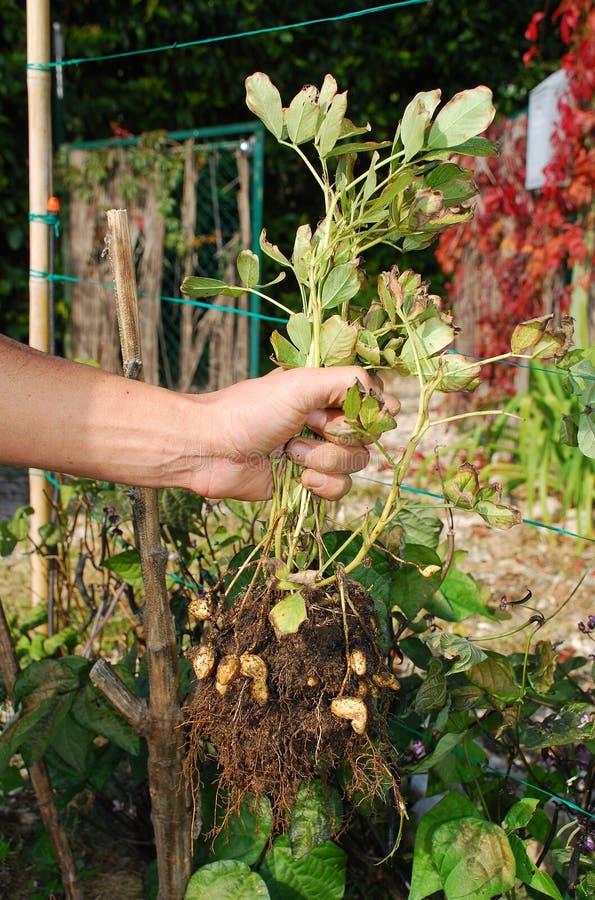 Planta Unearthed terra arrendada do amendoim do fazendeiro fotografia de stock