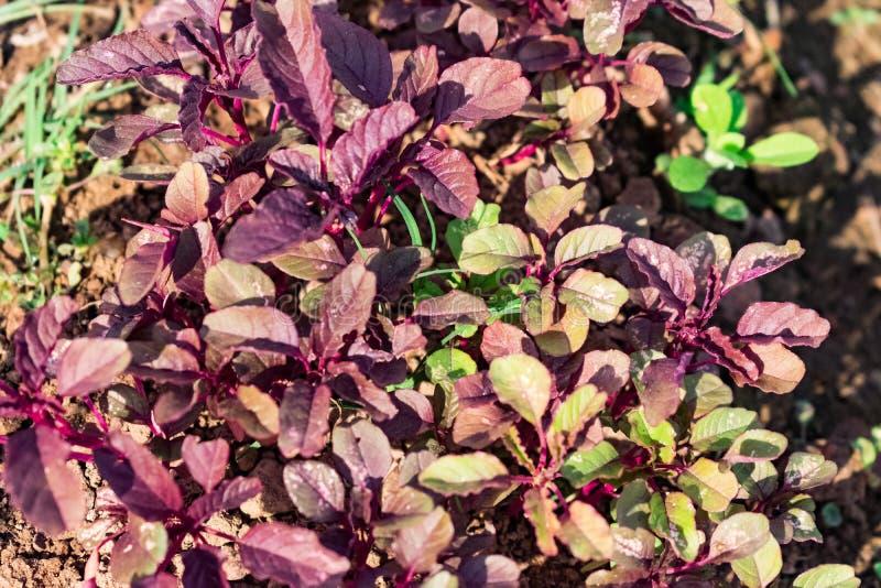 Planta vegatable da folha do vermelho indiano que olha em casa o jardim impressionante imagens de stock