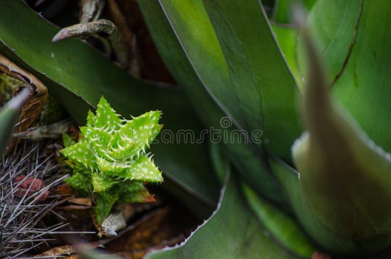 Planta verde Aculeata del áloe del bebé en un jardín botánico tropical imágenes de archivo libres de regalías