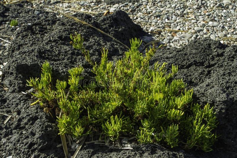 Planta verde colorida texturizada del cactus en una roca negra de la lava en el cierre de Sicilia para arriba imagenes de archivo