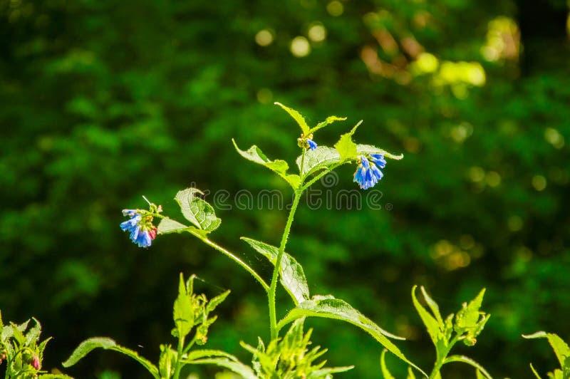 Planta verde com flores azuis Contra o contexto do verão da floresta na floresta fotos de stock royalty free