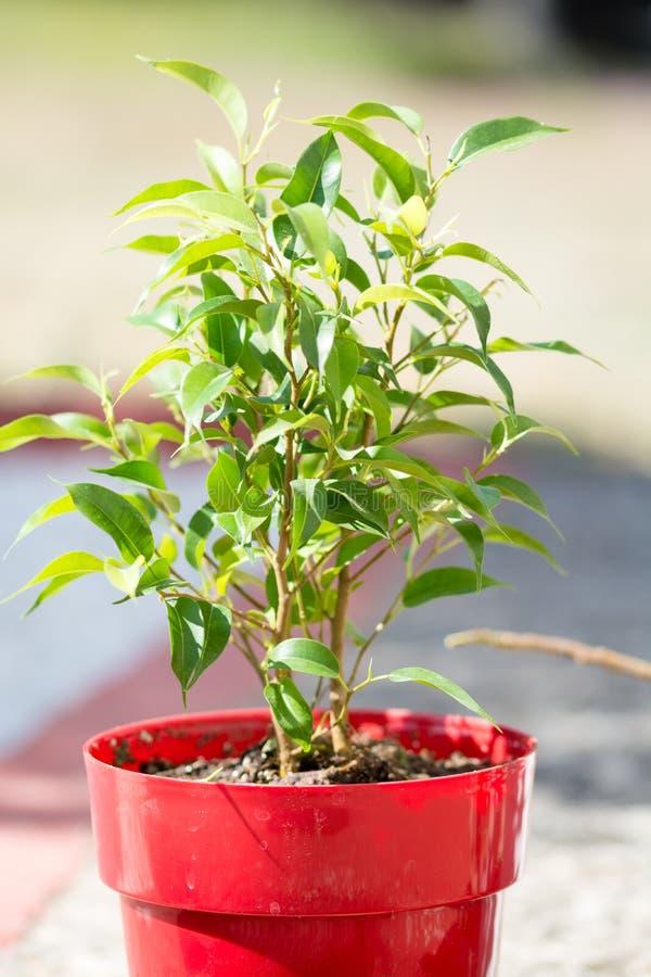 Planta verde con muchas hojas en un pote rojo fotos de archivo libres de regalías
