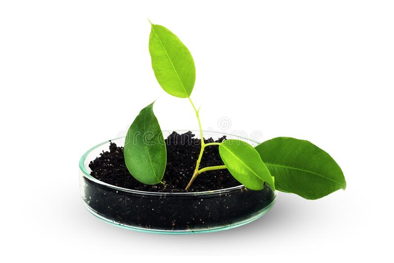 A planta verde cresce na terra e em produtos vidreiros de laboratório imagem de stock royalty free