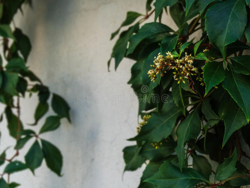 A planta verde cresce nas paredes brancas do jardim fotografia de stock royalty free