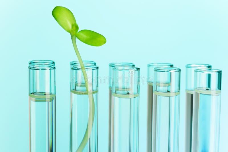 A planta verde cresce no tubo de ensaio enchido com água foto de stock