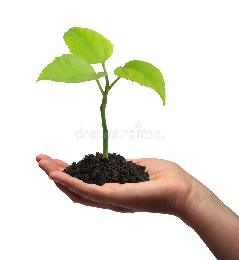 Planta verde crescente em uma mão foto de stock royalty free