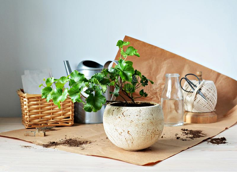 Planta verde da casa da hera no potenciômetro cerâmico bege, na lata molhando, no papel de embalagem, em tesouras pretas e na ces fotografia de stock