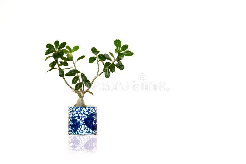 Planta verde da casa isolada no fundo branco imagens de stock
