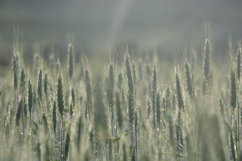 Planta verde da grão no campo imagens de stock