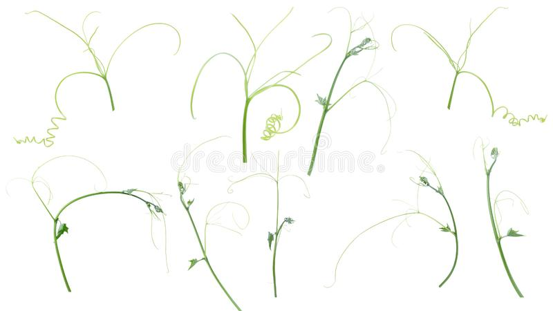Planta verde da hera isolada no fundo cinzento, trajeto de grampeamento fotografia de stock royalty free