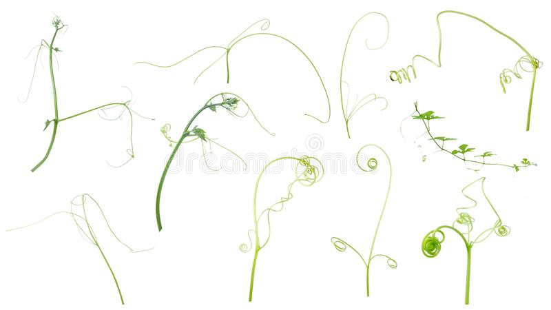 Planta verde da hera isolada no fundo cinzento, trajeto de grampeamento imagem de stock royalty free