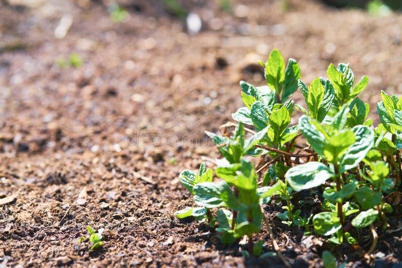 Planta verde da pastilha de hortel? no solo marrom fotos de stock