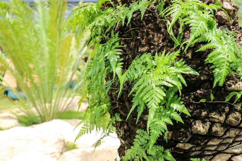 planta verde da samambaia que cresce na palmeira velha do corpo fotografia de stock