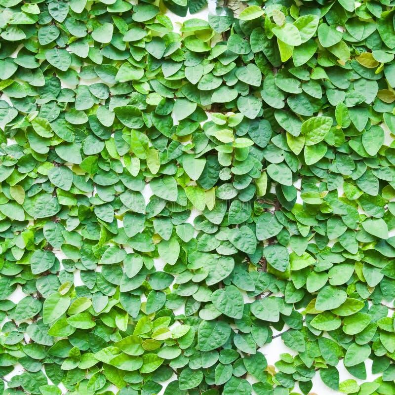 Planta verde da trepadeira na parede imagens de stock for Plantas verdes exterior