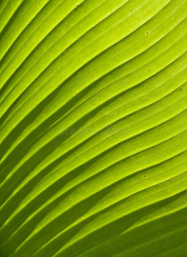 Planta verde de la palma de la textura de la hoja fotografía de archivo libre de regalías