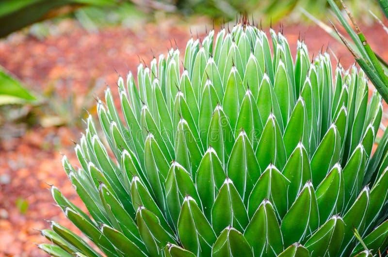 Planta verde de Reginae de los victoriae del agavo en primer en un jardín botánico tropical foto de archivo