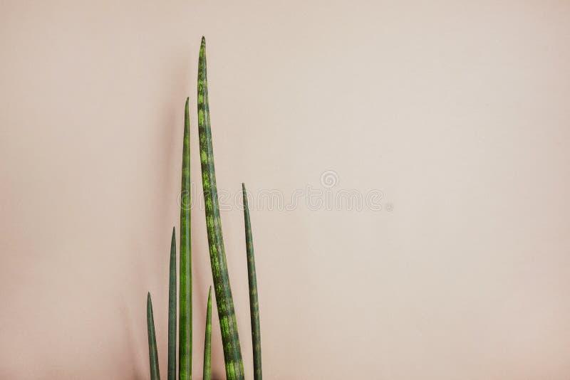 Planta verde decorativa em um fundo bege Conceito saud?vel do cabelo fotos de stock royalty free