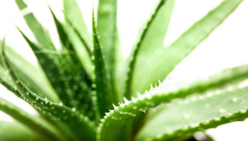 Planta verde del agavo aislada en el primer blanco del fondo imagen de archivo