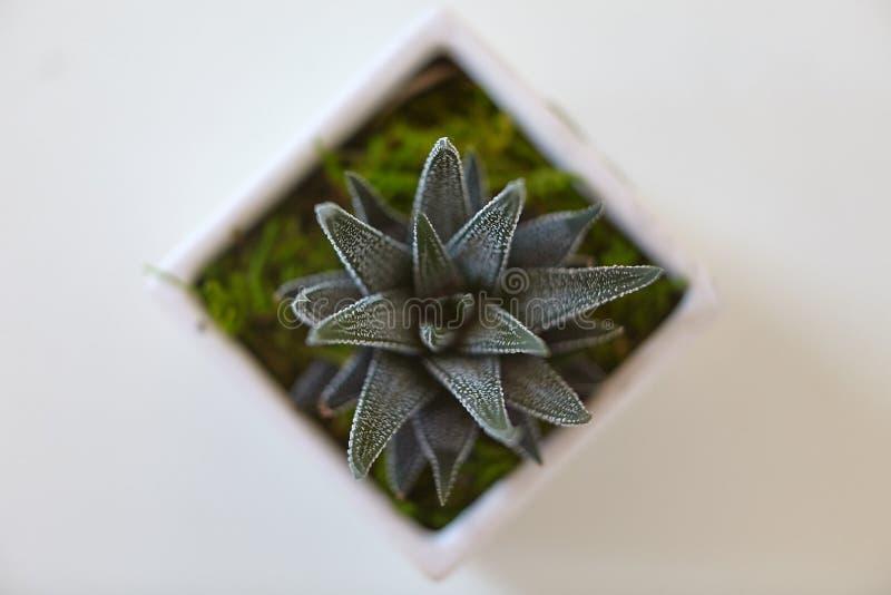 Planta verde del cactus fotografía de archivo libre de regalías