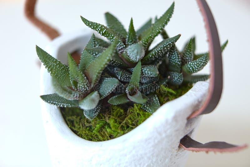 Planta verde del cactus con la correa de cuero crecida fotos de archivo
