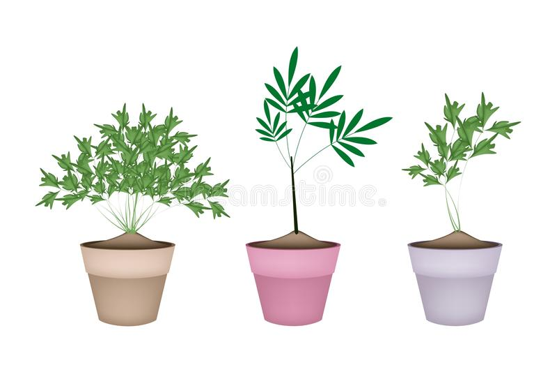 planta verde del perejil en macetas de cermica ilustracin del vector