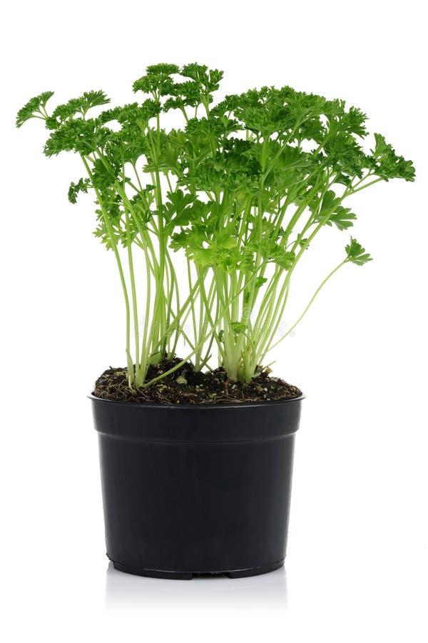Planta verde del perejil en pote imagen de archivo libre de regalías