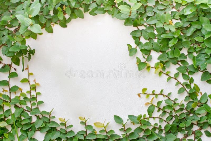 Planta verde do creeper fotos de stock