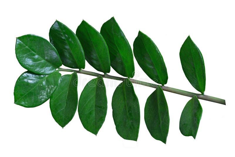 Planta verde do ficus imagens de stock