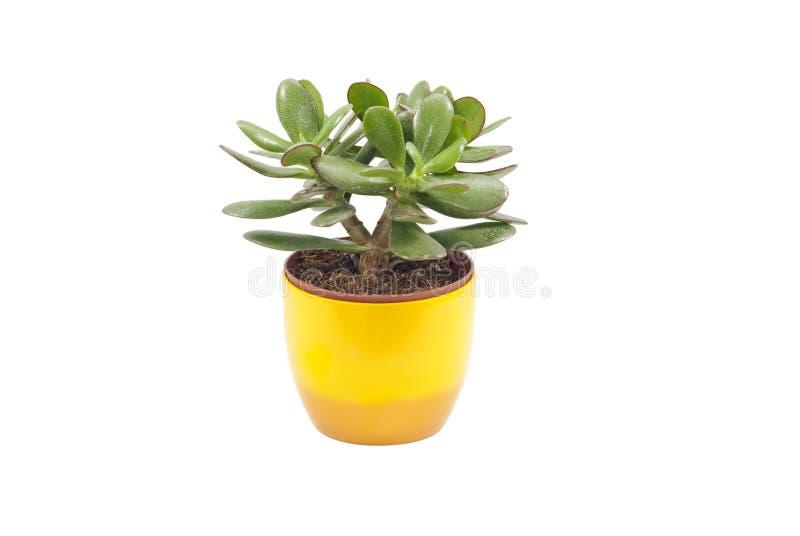 Planta do Succulent fotos de stock royalty free