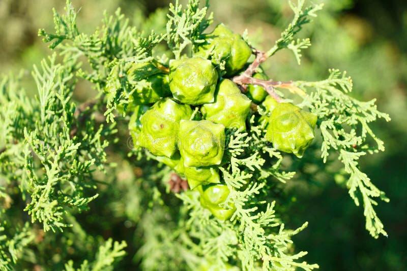 Planta verde do zimbro com fruto arom?tico maduro imagens de stock royalty free