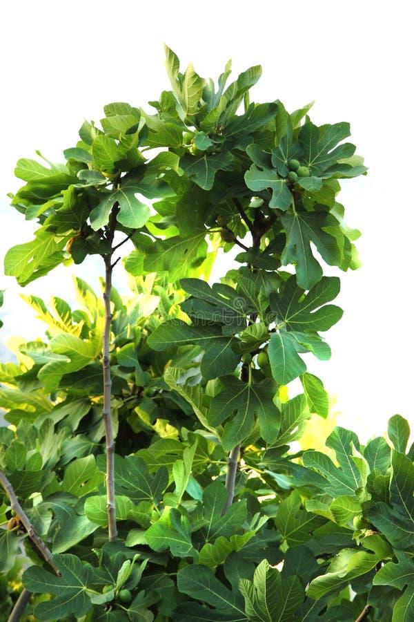 Planta verde dos figos imagem de stock royalty free