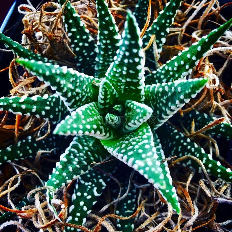 Planta verde e branca do jade imagens de stock