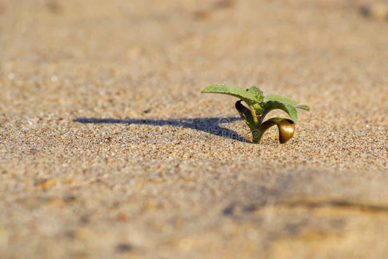 Planta verde en el desierto fotografía de archivo libre de regalías