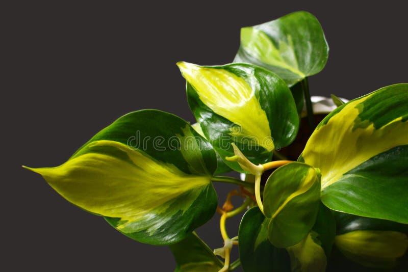Planta verde exótica da trepadeira de Scandens Brasil do Philodendron com as listras amarelas no fundo escuro fotografia de stock royalty free