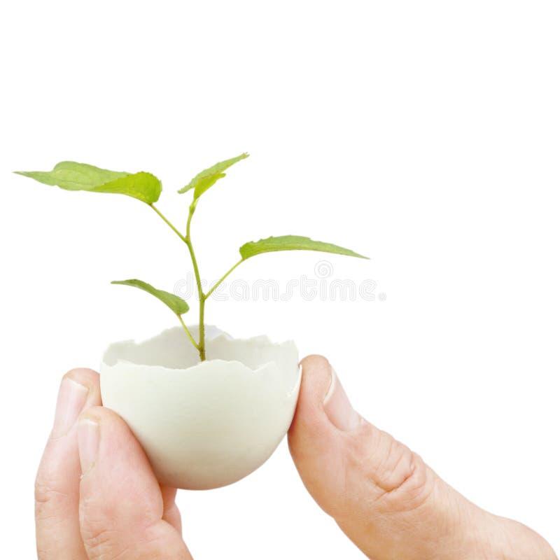Planta verde joven en una cáscara de huevo imagenes de archivo