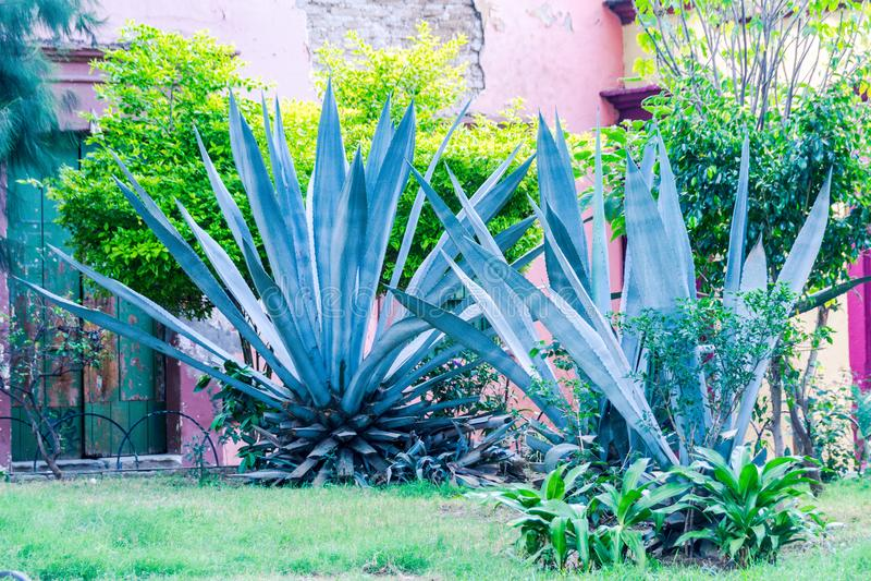 Planta verde mexicana tradicional de Maguey fotos de stock royalty free