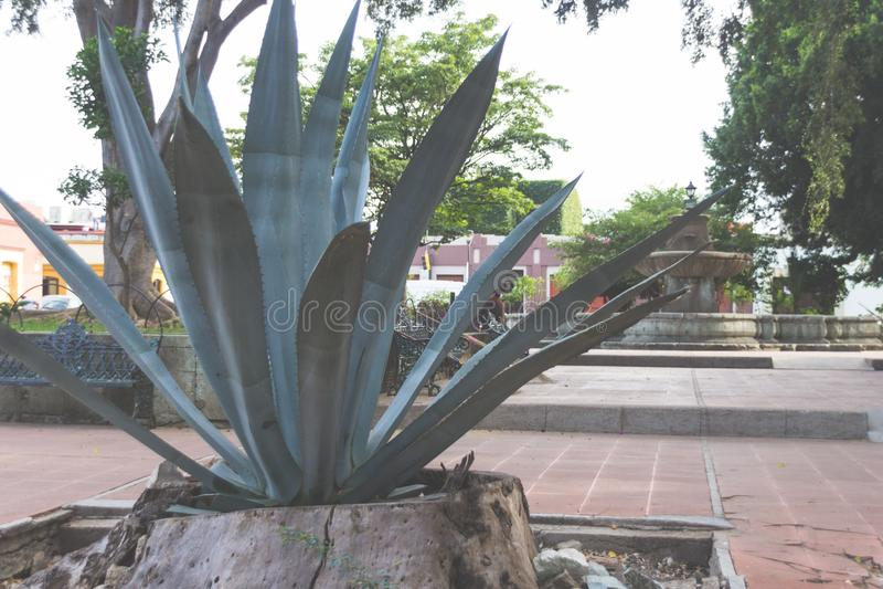 Planta verde mexicana tradicional de Maguey fotografia de stock