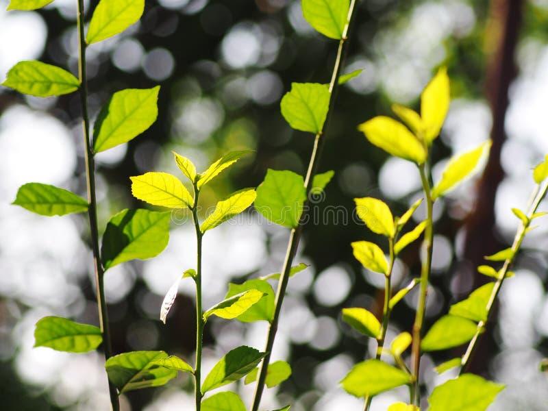 A planta verde min?scula nova deixa a profundidade de campo rasa sob a luz solar natural fotografia de stock