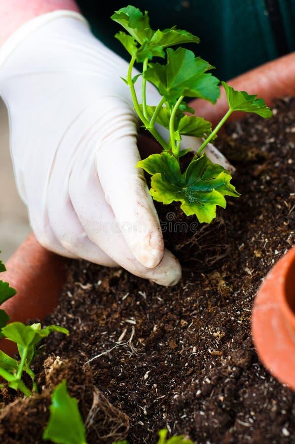 Planta verde nova do potting da mão imagem de stock royalty free
