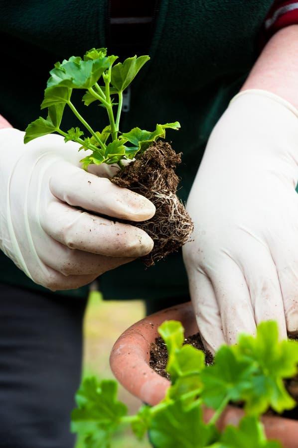Planta verde nova do potting da mão fotografia de stock
