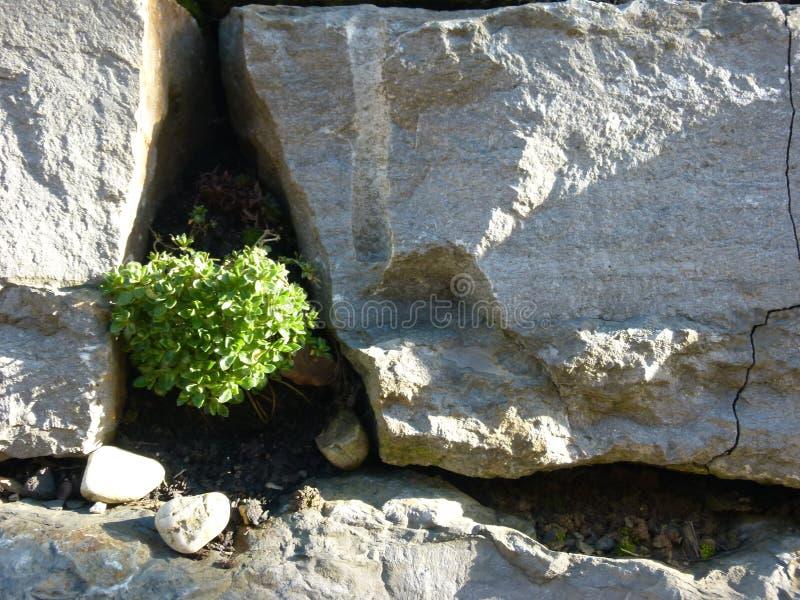A planta verde pequena cresce fora da parede desencapada do jardim imagens de stock