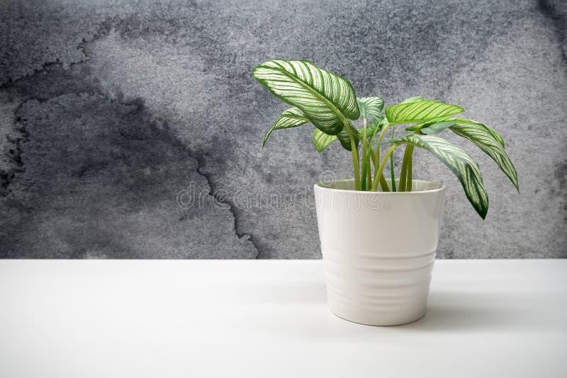 Planta verde pequena em uns potenciômetros de flor para a decoração interior com co imagens de stock