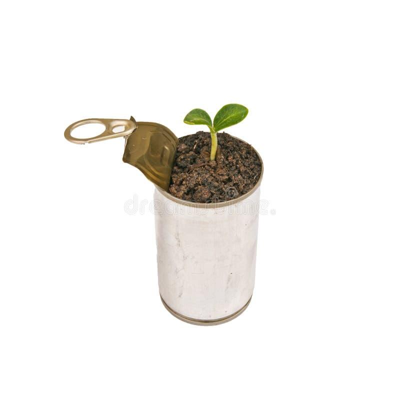 A planta verde pode dentro fotos de stock royalty free